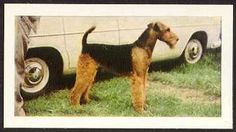 """Airedale Terrier   card from England.  This is a card from a set of 48 that was issued by Hornimans Tea in 1961. It is called """"Dogs"""" and each card was placed in 1/4-pound packets of tea.  The reverse side contains a description of the breed. Airedale Terrier Card 1 (Hornimans Tea, 1961)"""
