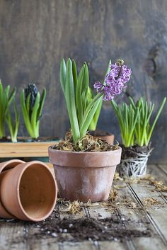 Planting Hyacinths is easy and fun. These colorful flowers are an early harbinger of Spring to come. Tips on planting hyacinths along with colorful photos.