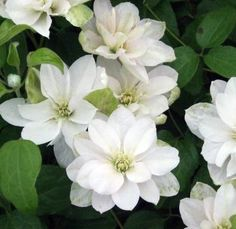 Taylors Clematis: Dancing Queen More Types Of Flowers, Large Flowers, White Flowers, White Clematis, Clematis Vine, Lenten Rose, Sun Loving Plants, White Plants, Climbing Vines