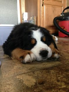 bernese puppy...and considering that I've had two of these adorable guys, I can understand why there is a shop vac in the background.  So much fur and so worth the clean up!