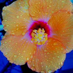 a8f86e6700546dee94d6a4f96bab6b30--hibiscus-flower-power.jpg