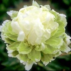 """""""GREEN HALO"""" [Peony """"Green Lotus""""]~[Unusual tuft of white petals and petaloids arise from a light green blossom petal base. Slightly fragrant. Most unusual color.]  'h4d' 120823"""