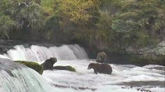 I'm watching #bearcam on @exploreorg, streaming live from Brooks Falls, Alaska  Otis, in the office, Walker and ?