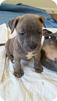 Arlington, WA - English Bulldog/Weimaraner Mix. Meet Laana, a puppy for adoption. http://www.adoptapet.com/pet/14072272-arlington-washington-english-bulldog-mix