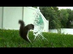 Squirrel VS Water Balloon
