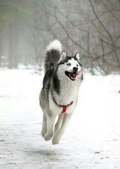 LaLaLa... I am a happy, happy, happy Husky.