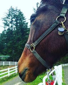 But mooooom.... #horse #horses #horseoftheday #horsesofinstagram #instahorse #instagramhorses #instapet #petsofinstagram #petoftheday #instagrampets #equestrian #equestrianlife #horsebackriding #horseriding #hackney #hackneyhorse #horselove #ilovemyhorse