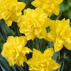 (C) A timeless classic, the Golden Ducat Daffodil produces one of the most prized and beautiful double yellow flowers. Plant Golden Ducat daffodil bulbs in the fall for early-spring blooms. Bloom will last up to 4 weeks! Daffodil Bulbs, Bulb Flowers, Daffodils, Tulips, Growing Flowers, Growing Plants, Spring Blooms, Spring Flowers, Woodland Garden