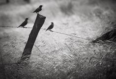 Scott Withers - She Listens Three Little Birds, Crows, Ravens, Photography Photos, Bald Eagle, Wanderlust, Lost, In This Moment, Explore