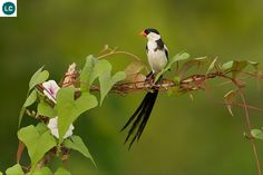 Pin-tailed Whydah (Vidua macroura) Africa south of the Sahara