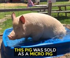 She's anything but micro!  Credit: Esther the Wonder Pig
