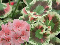Pelargonium 'Pink Dolly Varden'