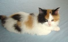 Tortoise Shell Calico Cat | tortoise shell calico cat | What is the difference between a calico ...