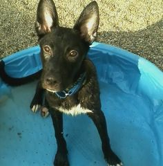 Loves swimming and playing with other dogs! Knows sit, down, and stay.
