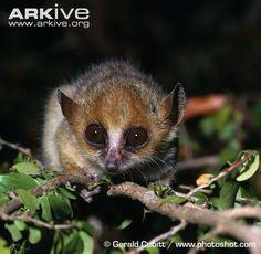Endangered Species of the Week: Madame Berthe's mouse lemur Slow Loris, Primates, Mammals, Wild Ones, Endangered Species, Four Legged, Animals Beautiful, Creatures, Pets