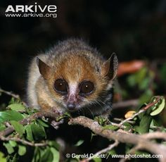 Madame Berthe's Mouse Lemur | Madame Berthe's mouse lemur (Microcebus berthae)