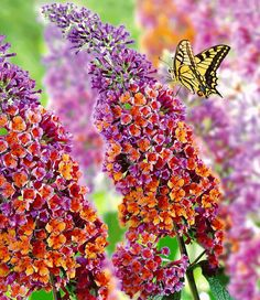 Buddlea Tricolor,a new member at my butterfly garden