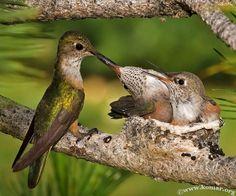 En la mayoría de las especies de colibries, después de que se lleva a cabo el apareamiento, la hembra es la encargada de la construcción del nido, empollar los huevos y la crianza de sus polluelos asta la edad adulta de los mismos.