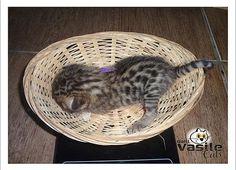 Filhotes de gato persa, Filhotes de Exotic Shorthair, Filhotes de Bengal, Microchipados, Vacinados, Vermifugados e Negativos para PKD, Fiv e Felv.