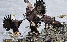 Adult and juvenile bald eagles fight over the remains of a salmon in Juneau, Alaska. Salmon returning to the nearby fish hatchery attract fishermen and wildlife. Photograph: Michael Penn/AP