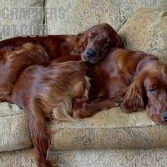 Irish setters--this is totally blue and Roxy!!!