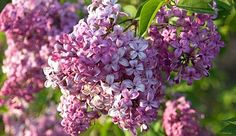 Lilacs, Don't they smell wonderful?