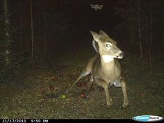 deer running from flying squirrel caught by trail camera, amazing shot !