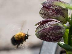 Lavendel - slik steller du den for maks blomstring - Moseplassen Eggplant, Planting, Vegetables, Flowers, Compost, Lavender, Plants, Eggplants, Vegetable Recipes