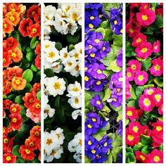 Primula Four Square, Floral Wreath, Wreaths, Home Decor, Floral Crown, Decoration Home, Door Wreaths, Room Decor, Deco Mesh Wreaths