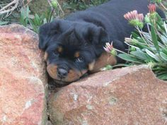 who you hiding from? Rottweiler Love, Rottweiler Puppies, Best Guard Dogs, Best Dogs, Doberman Pinscher, Family Dogs, Rottweilers, Animals, Doggies