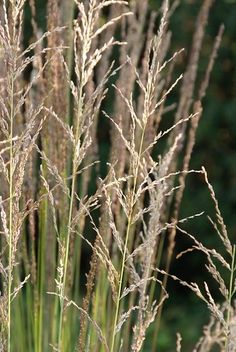 There are ornamental grasses for dry or moisture-retentive soils, for full sun or shade – all of them fully hardy perennial plants. Alpine Meadow, Hardy Perennials, Ornamental Grasses, Mother Earth, Garden Design, Most Beautiful, Plants, Om, Landscape Designs