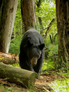 Bear in Great Smoky Mtns. Welcome to the Smoky Mtns. Availability Rates for cabins in real time are on website as well as contact info. Beautiful Creatures, Animals Beautiful, Cute Animals, Wild Animals, Baby Animals, American Black Bear, Power Animal, Cades Cove, Love Bear