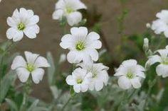 「白い花」の画像検索結果