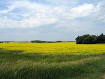 Field of Manitoba Canola Stock Images