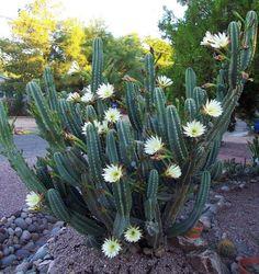 Cereus Peruvianus o Cactus del Ordenador                                                                                                                                                                                 More
