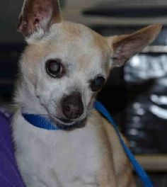 SUPER URGENT Staten Island Center BUTTERSCOTCH – A1079560  NEUTERED MALE, TAN, CHIHUAHUA SH MIX, 8 yrs STRAY – STRAY WAIT, HOLD RELEASED Reason STRAY  Date 07/01/2016 http://nycdogs.urgentpodr.org/butterscotch-a1079560/