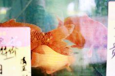 gold fish | kanton, china