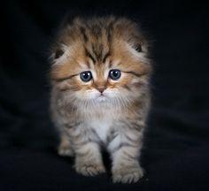Floppy Eared Persian Kitten - http://www.shop2impress.co.uk/petworld/petblog/floppy-eared-persian-kitten/