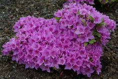 Rhododendron 'Malá Skála' (azalea)