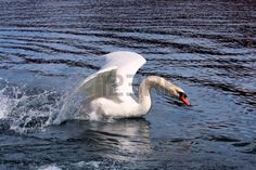 swan flying up