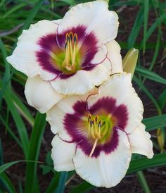 Daylily, Hemerocallis 'Blueberry Candy' (Stamile, 1993)