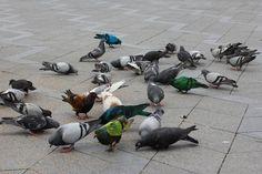 Julian Charriere: Some pigeons are more equal than others, 2012.-  Foto: Erling Lykke-Jeppesen. Courtesy: Den Frie Udstillingsbygning.