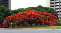 O Flamboyant e uma arvore, pertence a família Caesalpinioidea, nativa de Madagascar, na África, perene, caduca, de tronco castanho escuro, de até 1 metro...