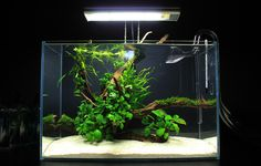Jesse's Mini-L Anubias Adventure - The Planted Tank Forum