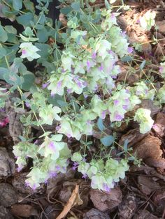 Kent Beauty Oregano