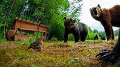 Bence Mate is a Hungarian wildlife photographer, and the most efficient participant in the history of the BBC Wildlife Photographer of The Year competition. Black Bear, Brown Bear, Bbc, Wildlife, English, Animals, English English, Animales, American Black Bear