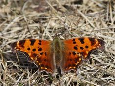 The Eastern Comma butterfly (Polygonia comma)