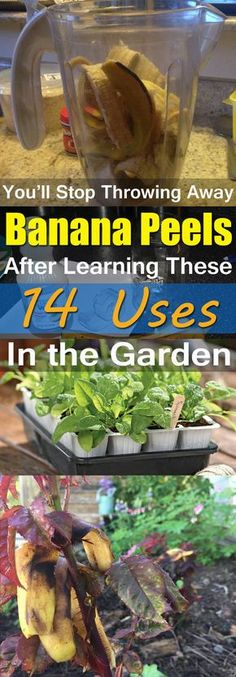 Gardening Love Banana peels are useful and full of nutrients. And there are 14 ways you can use them in the garden! - Banana peels are useful and full of nutrients. And there are 14 ways you can use them in the garden! Garden Compost, Garden Pests, Vegetable Garden, Garden Fertilizers, Garden Web, Lawn And Garden, Balcony Garden, Growing Plants, Growing Vegetables