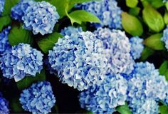 Hydrangeas are my favorite flowers- they remind me of weathered clapboard houses and hydrangea-filled gardens on Cape Cod