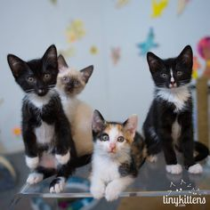 Cricket, Katydid, Junebug and Badger of the Happy Forest Kittens from Tinykittens.com (7/17/2015)